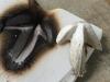 silver leaf cuttlefish casting